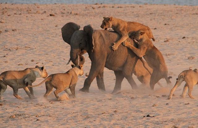 【视频】电影都拍不了的精彩!机智大象独战14只饥饿猛狮,惊险逃生