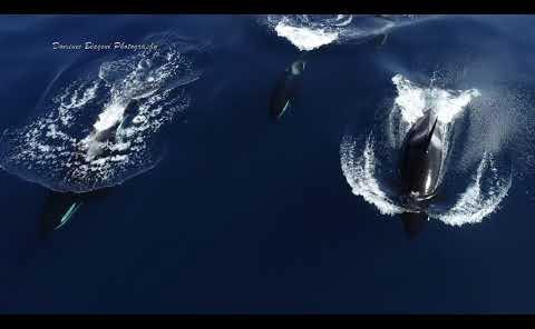 很罕见! 一只小船,一台无人机拍摄到6只虎鲸水中嬉戏